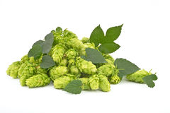 Hop cones isolated Royalty Free Stock Image