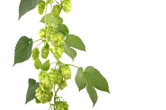 Hop cones isolated Stock Image