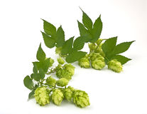 Hop cones isolated Stock Photos