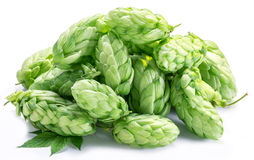 Hop cones. Royalty Free Stock Photography