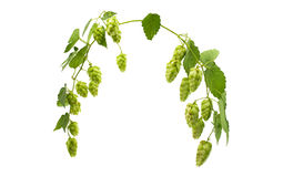 hop cones isolated Stock Images