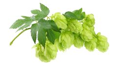Hop cones isolated on white background. Beer brewing ingredients. Beer brewery concept. Beer background royalty free stock photos