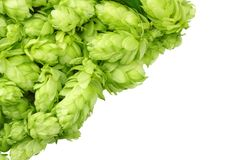 Hop cones isolated on white background. Beer brewing ingredients. Beer brewery concept. Beer background. Top view stock photo