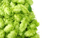 Hop cones isolated on white background. Beer brewing ingredients. Beer brewery concept. Beer background. Top view royalty free stock image