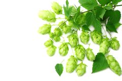 Hop cones isolated on white background. Beer brewing ingredients. Beer brewery concept. Beer background. Top view royalty free stock photography