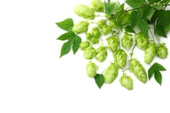 Hop cones isolated on white background. Beer brewing ingredients. Beer brewery concept. Beer background. Top view royalty free stock photos