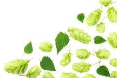 Hop cones isolated on white background. Beer brewing ingredients. Beer brewery concept. Beer background. Top view royalty free stock images