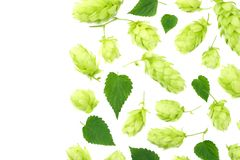 Hop cones isolated on white background. Beer brewing ingredients. Beer brewery concept. Beer background. Top view stock image