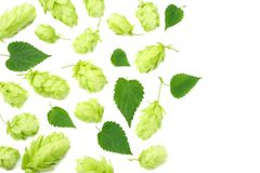 Hop cones isolated on white background. Beer brewing ingredients. Beer brewery concept. Beer background. Top view stock photography