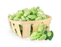 Hop cones isolated on white. Fresh green hops in wooden basket and branch near isolated on white background with clipping path. Hop cones for beer. Ingredient Royalty Free Stock Image