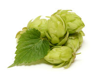 Hop cones with leaf Royalty Free Stock Image