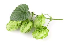 Hop cones with leaf on white background close-up. Top view stock photography
