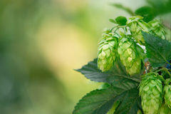 Hop cones with place for text Royalty Free Stock Photography