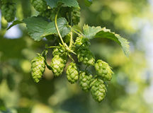 Hop cones. On the hop plantation Royalty Free Stock Photos