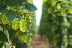 Hop cones - raw material for beer production, Royalty Free Stock Image