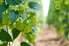 Hop cones - raw material for beer production, Stock Images