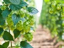 Hop cones. Is raw material for beer production Royalty Free Stock Image