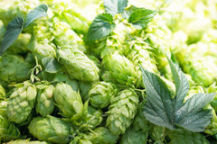 Hop cones Royalty Free Stock Photography