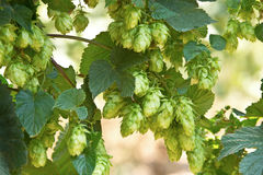 Hop cones, raw material for beer production Royalty Free Stock Photo