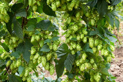Hop cones, raw material for beer production Royalty Free Stock Photography