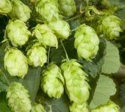 Hop cones. Ripened hop cones in the hop garden Royalty Free Stock Photography