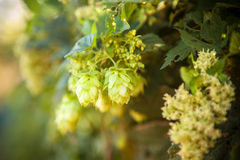 Hop cones on a stalk. Shallow depth of field Stock Photo