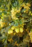 Hop cones on a stalk Stock Photos