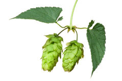 Hop cones Royalty Free Stock Image