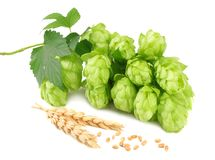 Hop cones and wheat ears isolated on white background. Beer brewing ingredients. Beer brewery concept. Beer background stock image