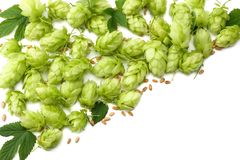 Hop cones and wheat ears isolated on white background. Beer brewing ingredients. Beer brewery concept. Beer background. Top view. With copy space royalty free stock photos