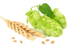 Hop cones and wheat ears isolated on white background. Beer brewing ingredients. Beer brewery concept. Beer background. royalty free stock photo