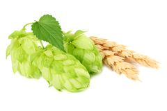 Hop cones and wheat ears isolated on white background. Beer brewing ingredients. Beer brewery concept. Beer background. stock photography