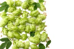 Hop cones and wheat ears isolated on white background. Beer brewing ingredients. Beer brewery concept. Beer background. Top view. With copy space royalty free stock photo