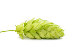 Hop cones Stock Photo