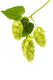 Hop cones Stock Photography