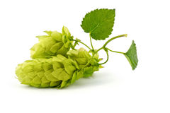 Hop Cones  Stock Image