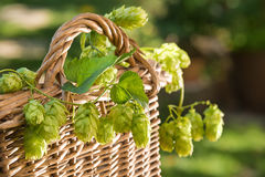 hop cones in the wicker basket Stock Photography