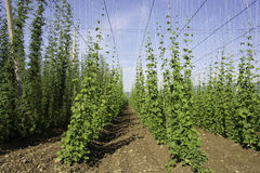 Hop crop rows and blue sky Royalty Free Stock Image