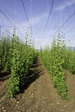 Hop crop rows and blue sky Stock Photo