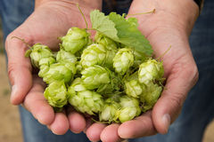Hop crop Royalty Free Stock Photos