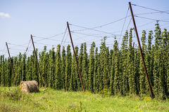 Hop cultivated for brewery in the field. Hop cultivation for brewing industry Stock Photos