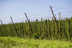 Hop cultivated for brewery in the field. Hop cultivation for brewing industry Royalty Free Stock Image
