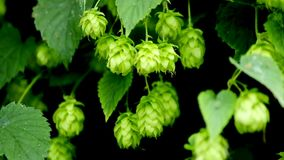 Hop cultivation and closeup of cones. In summer stock video footage