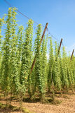 Hop Field Royalty Free Stock Photos