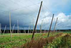 Hop field. A field for growing hop, which is used for beer production. The picture shows the posts that are used for cultivating the vine. The image was taken in royalty free stock images