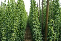 A hop field. A hope field before harvest Royalty Free Stock Images