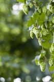 Hop field Stock Image