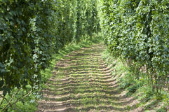 Hop field Stock Photography