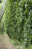 Hop field Royalty Free Stock Image
