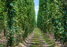 Hop field in Alsace Stock Photos